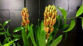 Al rallentatore di fioritura dei fiori di orientalis di hyacinthHyacinthus archivi video
