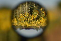 Al revés, girasol Imagen de archivo libre de regalías
