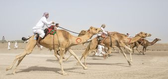 Men riding camels in a countryside. Al Safen, Oman, 27th April, 2018: omani men at a camel race in a countryside Royalty Free Stock Images