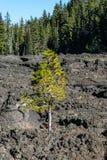 Al un pino ha trovato un modo sopravvivere a in un giacimento di lava Fotografie Stock Libere da Diritti