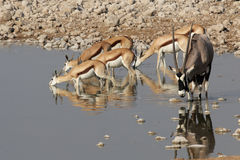 Al waterhole Immagine Stock
