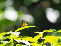 Ala amarilla y marrón del modelo con la mariposa de la antena imagen de archivo libre de regalías