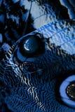 Ala azul de la mariposa Fotografía de archivo libre de regalías