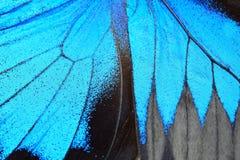 Ala azul de la mariposa Imagen de archivo