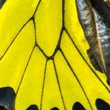 Ala birdwing de oro de la mariposa Foto de archivo libre de regalías