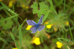 Ala dañada mariposa azul Foto de archivo