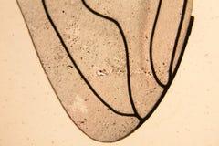 Ala de la abeja en el microscopio Fotos de archivo