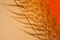 Ala de la abeja en el microscopio Foto de archivo libre de regalías