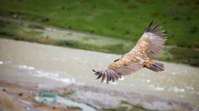 Ala de la cacerola del halcón de la montaña en fondo borroso del río Imagen de archivo