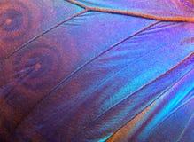 Ala de un fondo de la textura de Morpho de la mariposa Foto de archivo