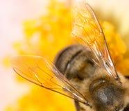 Ala de una abeja en una flor Macro estupenda Fotos de archivo libres de regalías