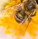 Ala de una abeja en una flor Macro estupenda Fotografía de archivo libre de regalías