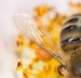 Ala de una abeja en una flor Macro estupenda Imágenes de archivo libres de regalías