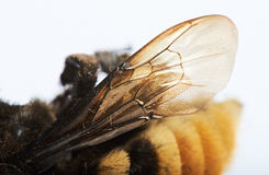 Ala del abejorro Imagenes de archivo