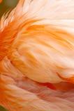 Ala del flamenco Fotos de archivo libres de regalías