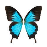 Ala della farfalla Immagine Stock