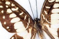 Ala della farfalla in macro primo piano Fotografia Stock Libera da Diritti