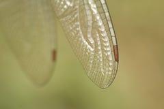 Ala della mosca del drago Fotografia Stock Libera da Diritti