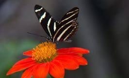 Ala lunga della zebra sul fiore rosso & arancio immagine stock libera da diritti