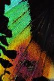 Ala multicolora de la mariposa Imagenes de archivo