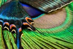 Ala y pluma de la mariposa fotografía de archivo