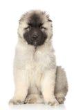 Alabai小狗的画象 免版税库存照片