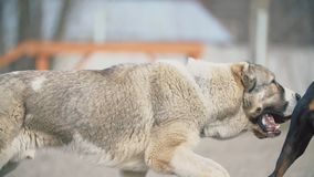 Alabai και doberman σκυλιά φιλμ μικρού μήκους