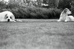 Alabai auf dem Gras Lizenzfreie Stockfotos