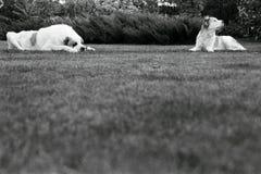Alabai auf dem Gras Stockbilder