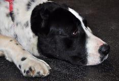 Alabai big dog sleeping Stock Photos