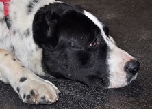 Alabai big dog sleeping royalty free stock photo