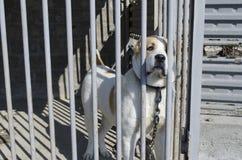 Alabai centroasiatico del cane da pastore del cucciolo Fotografia Stock