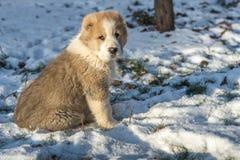 Alabai centroasiatico di Dog del pastore - cucciolo fotografia stock libera da diritti