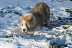 Alabai centroasiatico di Dog del pastore - cucciolo immagine stock