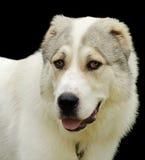 Alabai dog Stock Photos