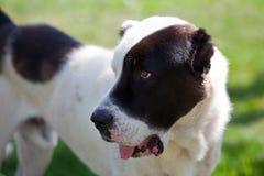 Alabai dog. 2 years old shepherd stock photo