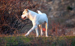 Alabai dog in autumn meadows Stock Images