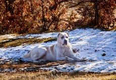Alabai dog Royalty Free Stock Photos