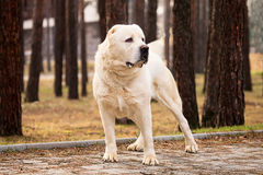 Alabai dog portrait in autumn park Royalty Free Stock Images