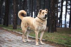 Alabai dog Stock Photo
