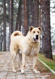 Alabai dog Stock Images