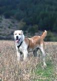 Alabai-Hund Lizenzfreies Stockbild