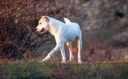 Alabai hund i höstängar Arkivbilder