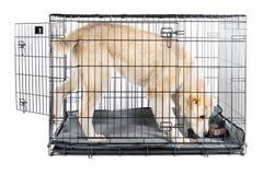 Alabai i bur isolerad bakgrund royaltyfria bilder
