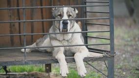 Alabai pies w wolierze zdjęcie wideo