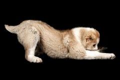 Alabai puppy eating stock photography