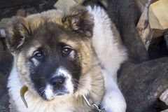 Alabai puppy looks at us sadly. stock image
