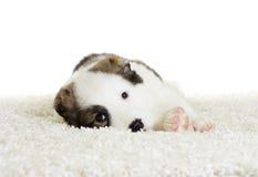 Alabai puppy watching Stock Images