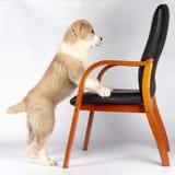 Alabai valp och en stol royaltyfri fotografi