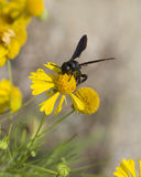 Alabama Bitterweed and Black Wasp. This golden Alabama USA wildflower is called Bitterweed, Yellowdicks - Helenium amarum, and Sneezeweed as well. It is being royalty free stock photos